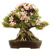 Azalea bonsai for sale