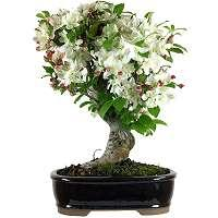 Mela Bonsai (Malus)