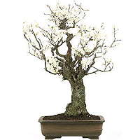 Apricot bonsai care (Prunus mume)