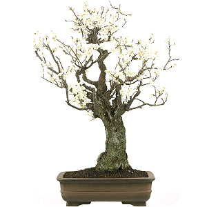 Bonsai masterpieces with video