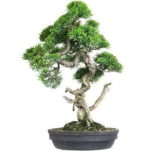 Cura Ginepro Bonsai (Juniperus)