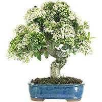 Firethorn bonsai care (Pyracantha)