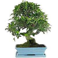 Fig tree bonsai (Ficus)