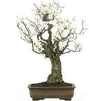 Japanese bonsai with video for sale