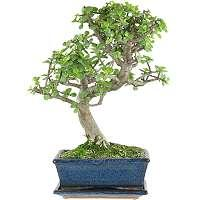 Jade tree bonsai - Crassula