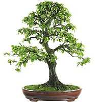 Vendita Bonsai di Carpino