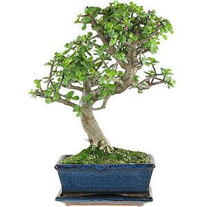 Jadebaum Bonsai