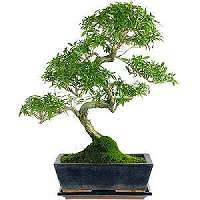 Serissa bonsai for sale