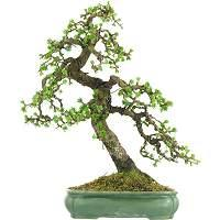 Larch bonsai (Larix)