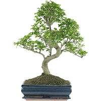 Japanese privet Bonsai (Ligustrum)