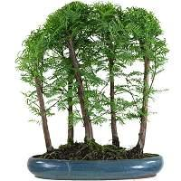 Redwood bonsai (Metasequoia glyptostroboides)