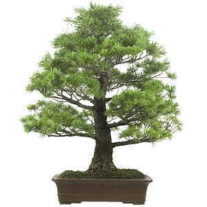 Needle tree bonsai and prebonsai