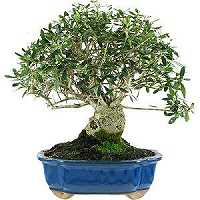 Olive tree bonsai care (Olea europaea)