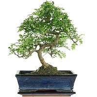 Chinese pepper tree bonsai - Zanthoxylum piperitum