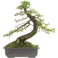 Prebonsai, Materiale prima