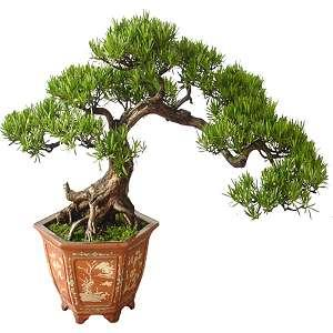 Podocarpus bonsai (Chinese yew or Buddhist pine)