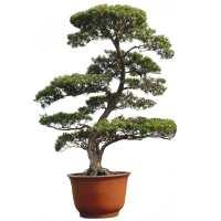 Fern pine bonsai care (Podocarpus macrophyllus)