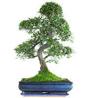 Chinese elms bonsai trees