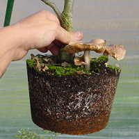 Mycorrhiza for bonsai