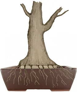 Bonsai air-layering - If roots are strong enough, the old trunk basis is sawn off and the bonsai tree can be potted