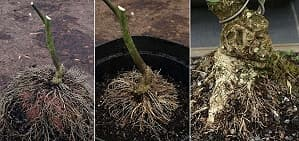 Bonsai air-layering - Perfect roots after air-layering with clay discs on a Spindle tree - Euonymus europaeus. The prebonsai on the right is 9 years old.