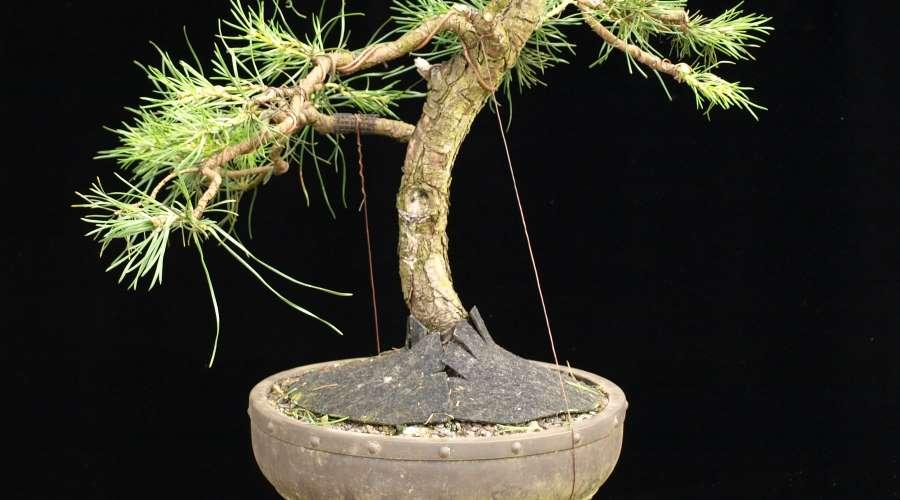 Pull down with bonsai wire