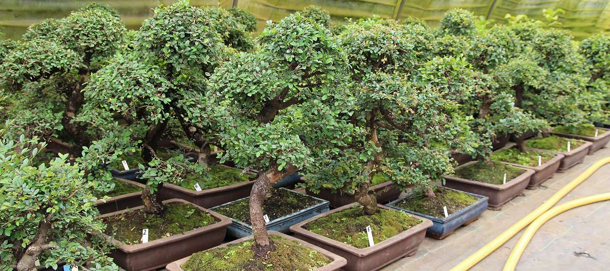 Stock of Chinese elms bonsai