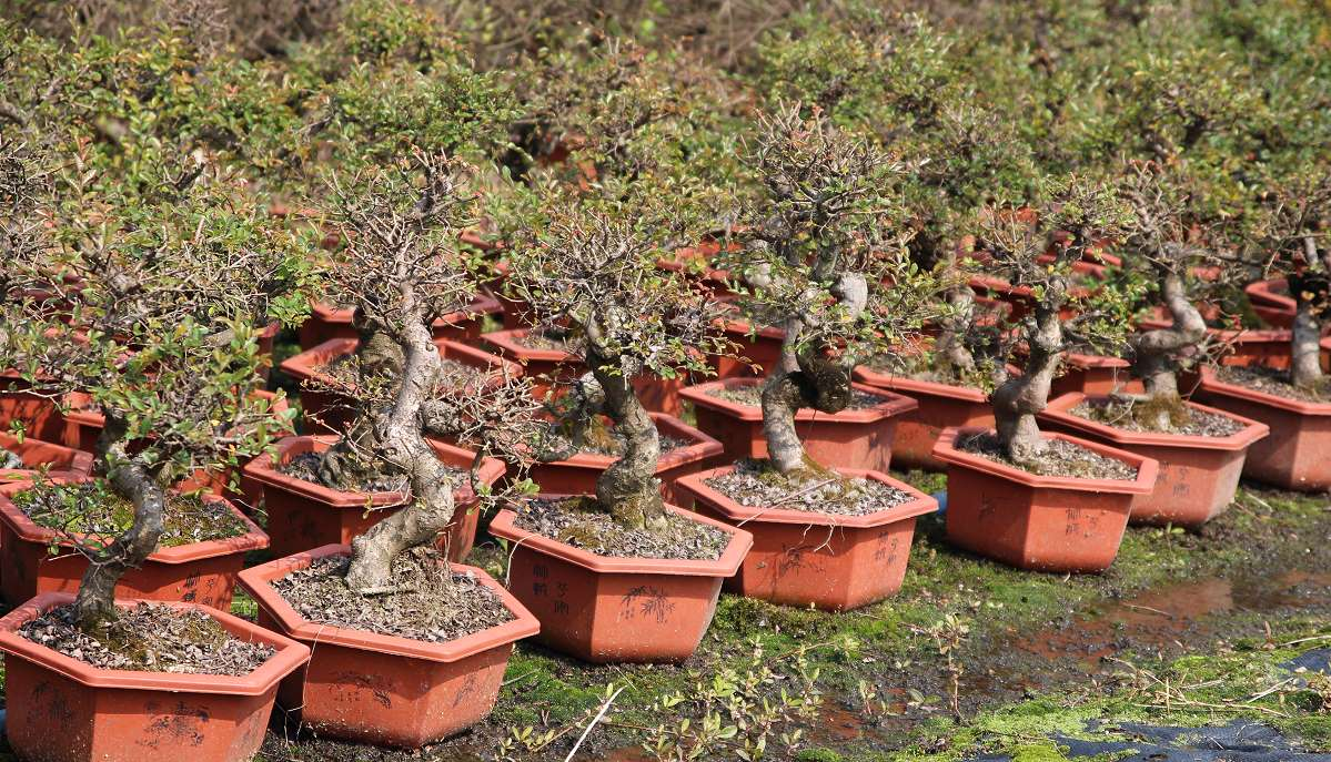Import of Chinese elm bonsai