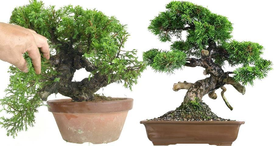 Juniper prebonsai (Juniperus)