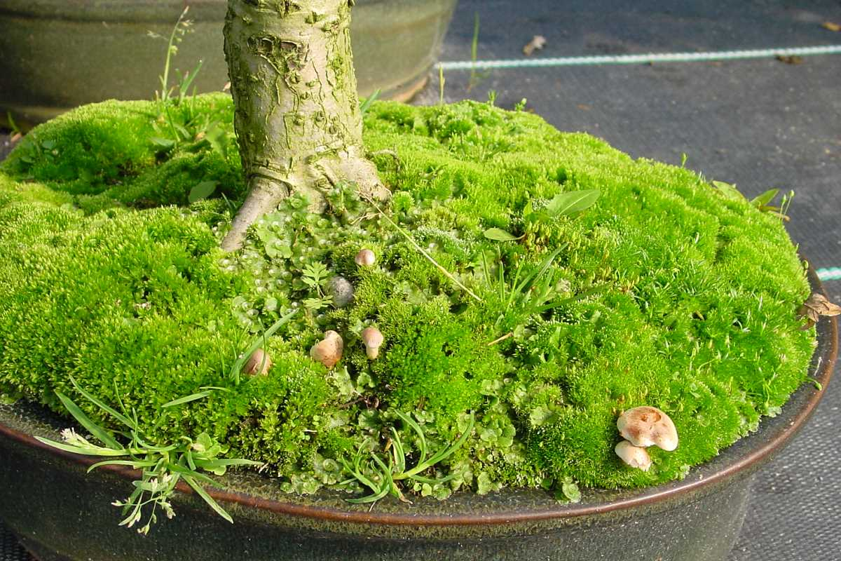 Mykorrhiza an Bonsai (Eiche)