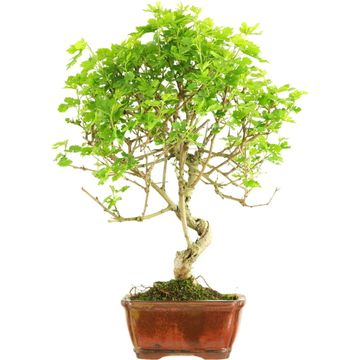 Bonsai, Mulberry, Morus alba, 9 years, 43cm