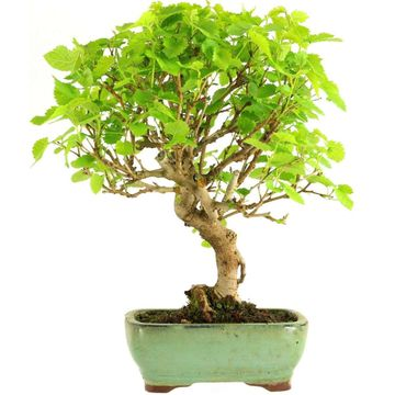 Bonsai, Mulberry, Morus alba, 10 years, 39cm